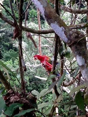 Papageientratsch