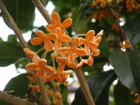 #キンモクセイの花