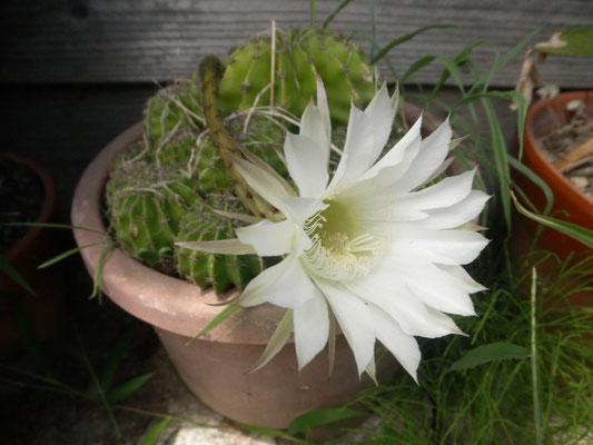 #サボテンの花