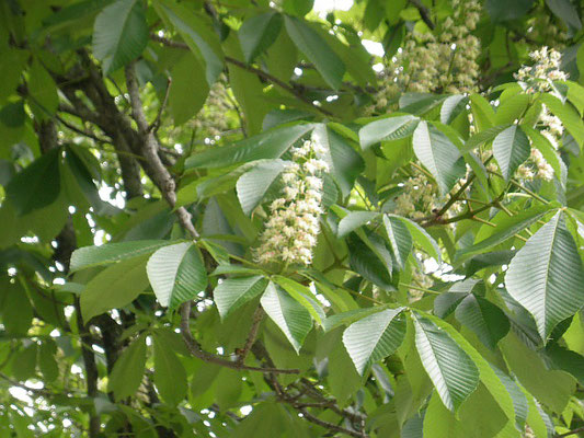 #トチの木の花