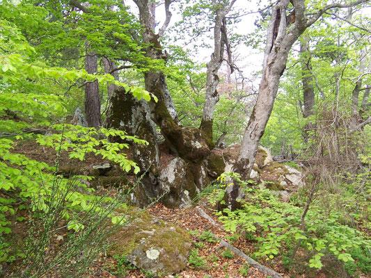 Forêt de Hêtre du Canigou