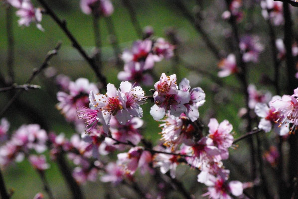 Flowers of peach trees in the valley of Roussillon