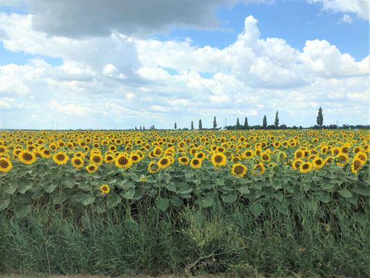 広大なひまわり畑