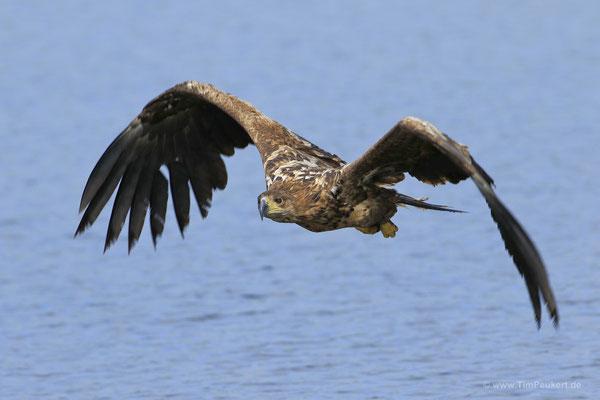 Seeadler, die Beute fest im Blick