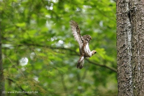 Anflug des Weibchen