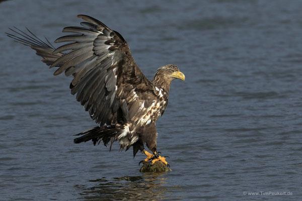 Seeadler beim Landen