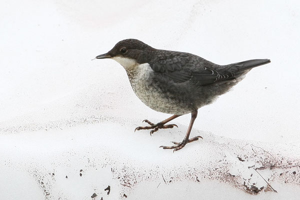 Jungvogel in Norwegen