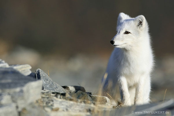 Polarfuchs Wildlife Norwegegen
