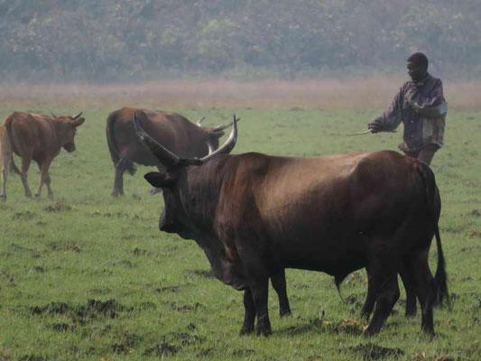 Bulle einer grösseren Vieherde