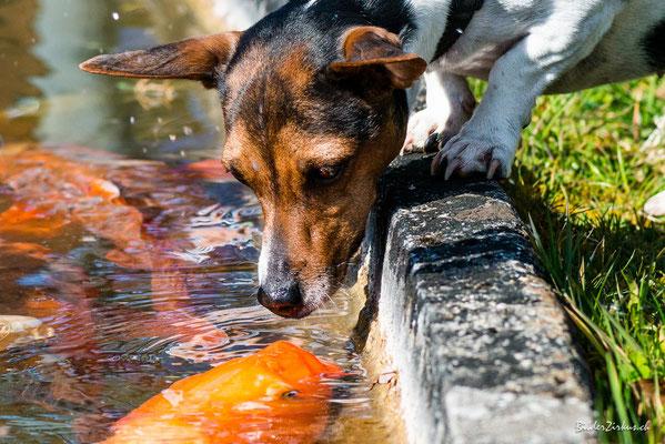 Fotografie Hund küsst fisch