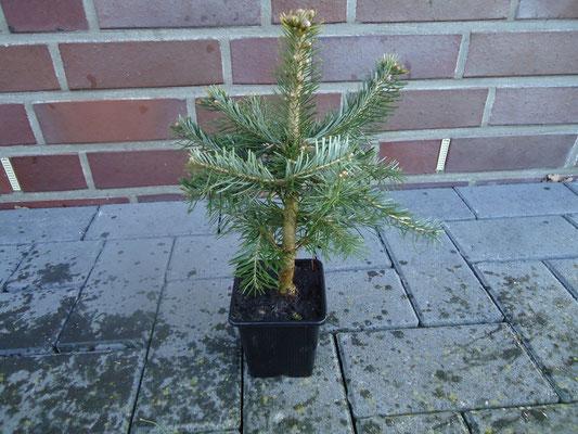 weihnachtsbaum set mit verschiedenen jungpflanzen online. Black Bedroom Furniture Sets. Home Design Ideas