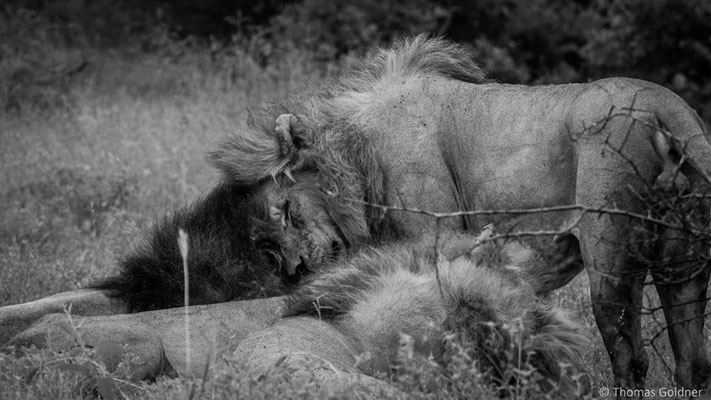 Zusammenschluss männlicher Löwen