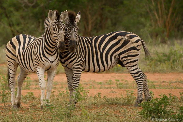 Steppenzebras - Kruger Nationalpark