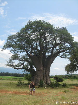 Riesiger Affenbrotbaum