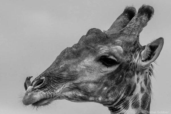 Giraffe mit Rotschnabel-Madenhacker