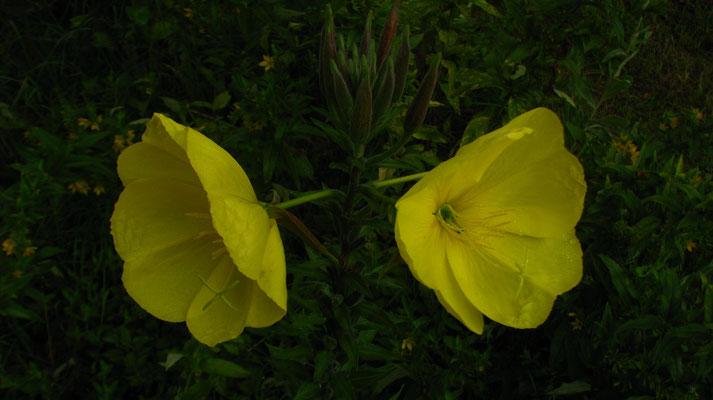 Essbare Blume
