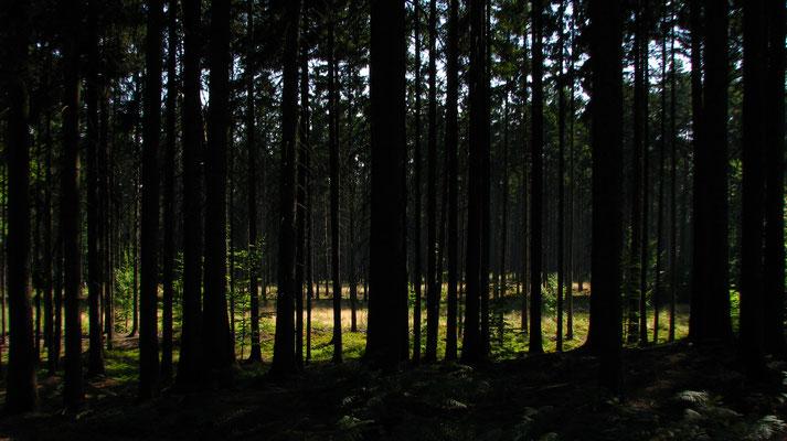 Stiller Wald im Tageslicht