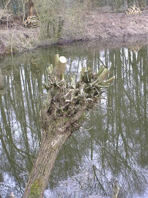Bild 3   Nach dem Schnitt einer Kopfweide im Frühjahr