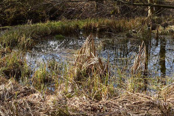 Grasfrösche laichen v.a. in den kleineren, sich rascher erwärmenden Nebenweihern ab