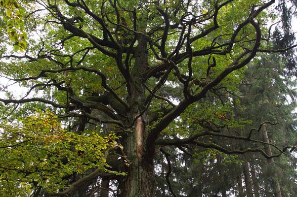 im Urwald bei der Sababurg