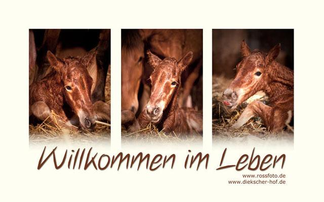 RossFoto Dana Krimmling Pferdefotografie Wanderreiten Freiberger Pferde Altoldenburger Pferdeportrait