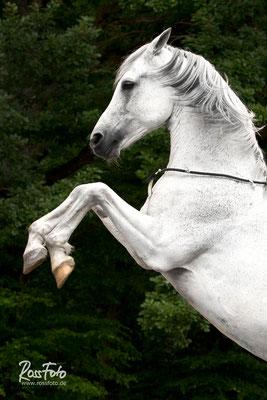 RossFoto Dana Krimmling Pferdefotografie Wanderreiten Freiberger Pferde Altoldenburger Pferdeportrait Westernreiten Jagdreiten Kavallerie