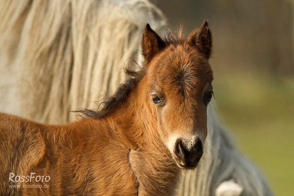 RossFoto; Dana Krimmling; Pferdefotografie; Fotografien vom Wanderreiten; Minishetties; Nebel; Fohlen; Ponies; Ponyzucht; Kleinpferde; Haspo Minis; Harmeling; Portrait; Weide; Wiese; Nebel; Pferdehaltung; natürlich