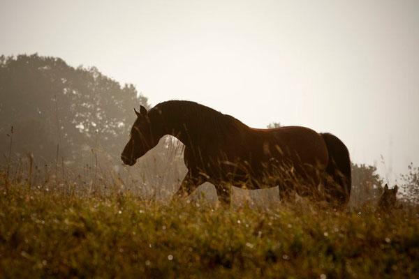 RossFoto Dana Krimmling Pferdefotografie Fotografien vom Wanderreiten Jagdreiten Freiberger Altoldenburger Pferde