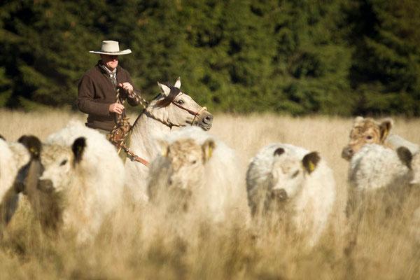 RossFoto Pferdefotografie Dana Krimmling Fotografien vom Wanderreiten Pferdeporträt Freiberger Pferde Viehtrieb Cattle drive Christoph Rieser