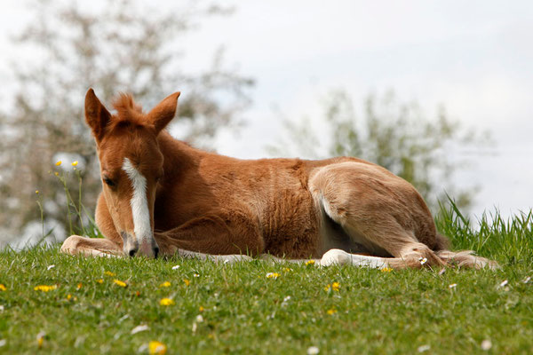 RossFoto - Dana Krimmling - Paso Peruano - Fohlen auf Weide