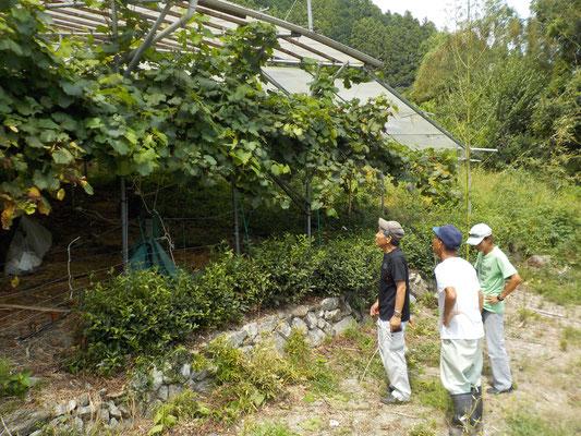 ブドウ園の周りは電気柵をギッシリとめぐらせています。