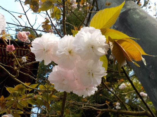 東照宮の入口には見事な八重桜が咲いていました。