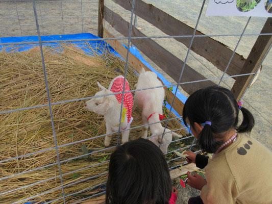 村のはずれのヤギ牧場から連れてきました。