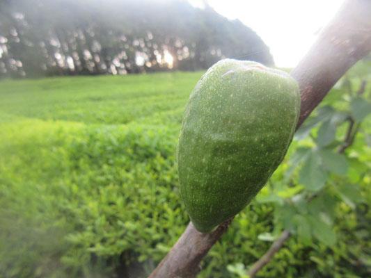 その茎には、、、、確かにイチジクの実が、、、、。