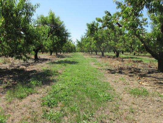 大規模な果樹農園