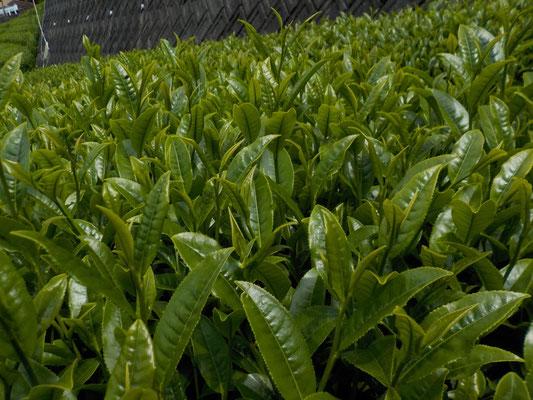 「ふじみどり」の茶葉を刈り取ります。