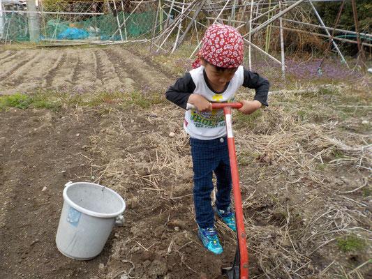 里芋を掘る。