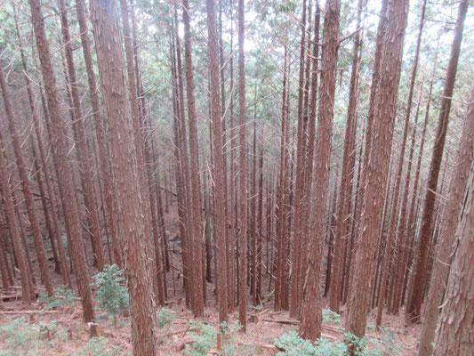 神明様の入り口にはけんジイさんの手入れ不足の杉林があります。