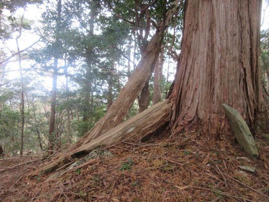 ヒノキの大木に寄りかかった骨のような芯。60年前はこの枯れた幹として立っていました。実はこの枯れた大木が「大白木」と云う村の名前の由来です。