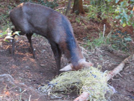 雄鹿は角に引っ掛けた網をどうにもなりません。