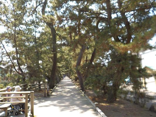 三保の松原は昔と違い、駐車場からかなりの距離を歩きます。デッキが整備されています。