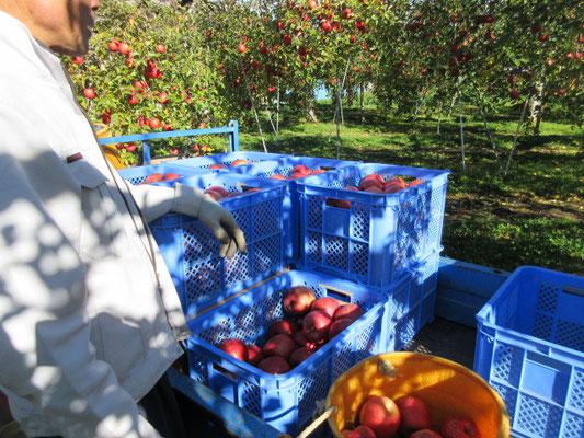 ご主人はリンゴ採りで大忙しでした。