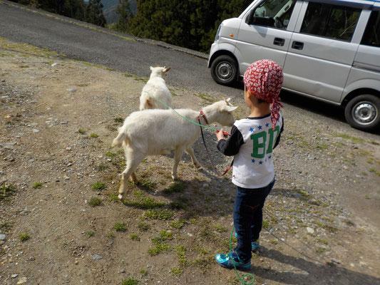 ヤギと遊ぶ。