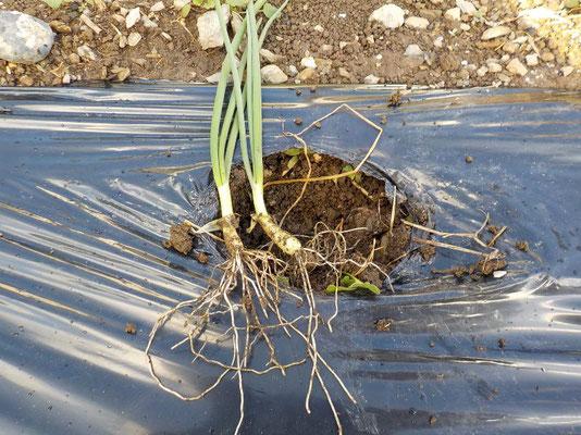 良く育った予備の苗で植え替えます。