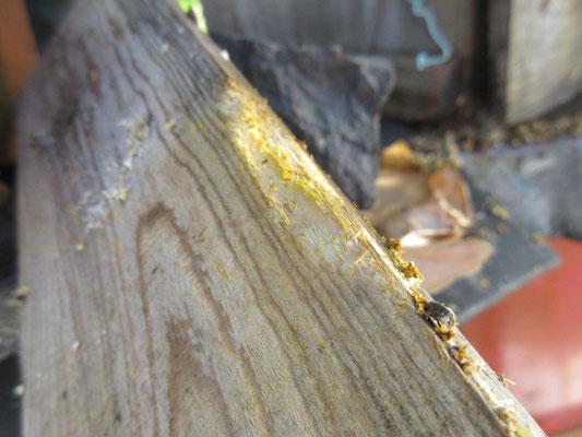 板を齧り取って大きな隙間を作り、巣箱に入りました。