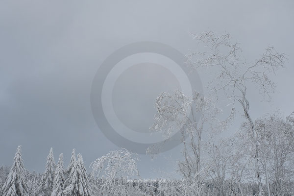 trees suffering from snow - picture ID 217631 ART