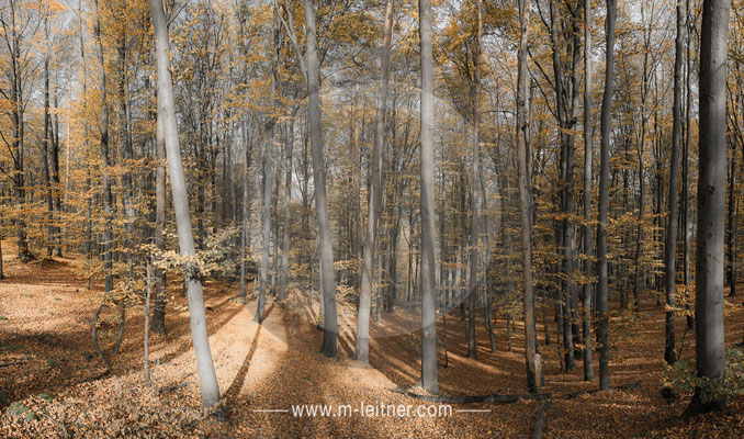 """forest autumn"" - bachlberg linz - panorama - size XL - picture ID 223633"
