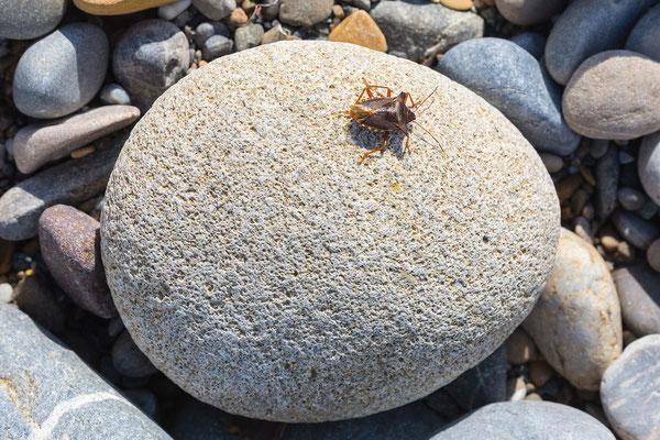 Sandstein (mit Wanze)