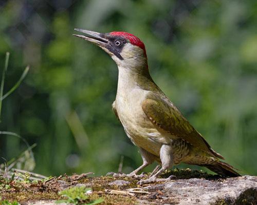 Altvogel