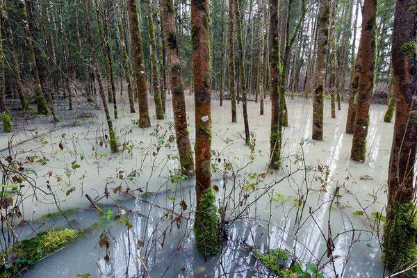 Am 4.1.2015 werden Teile der Auenwälder geflutet.